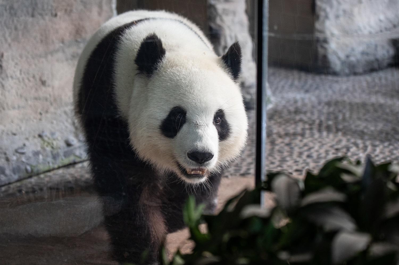 Berlyno zoologijos sodo didžioji panda Meng Meng atsivedė dvynukus