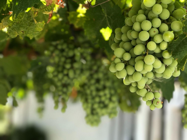Gausus ir saldus vynuogių derlius