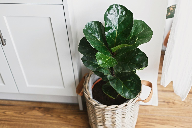 Augalai namuose padeda sukurti harmoniją