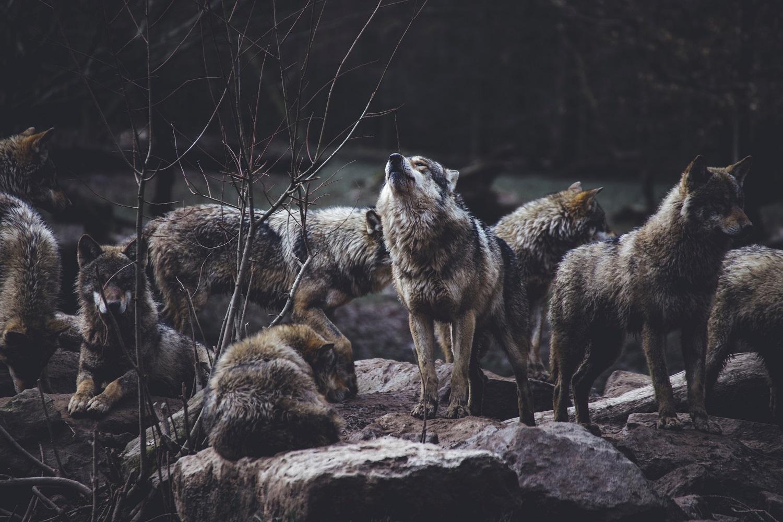 Apsaugai nuo vilkų įsirengti bus skiriama 1 mln. eurų