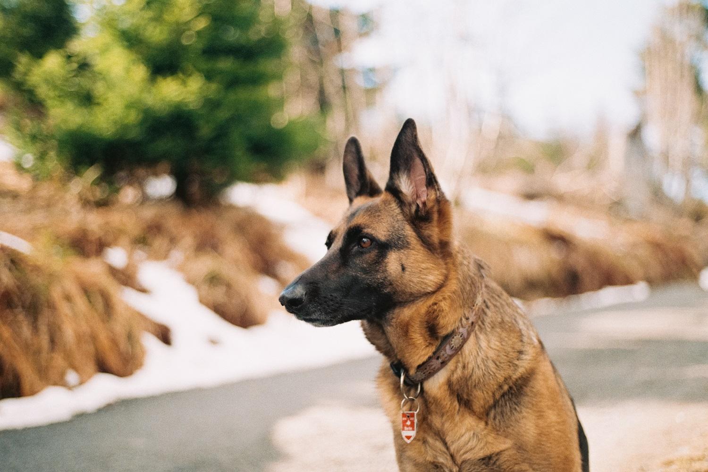 Didžiojoje Britanijoje šunys bus apmokomi užuosti koronavirusą