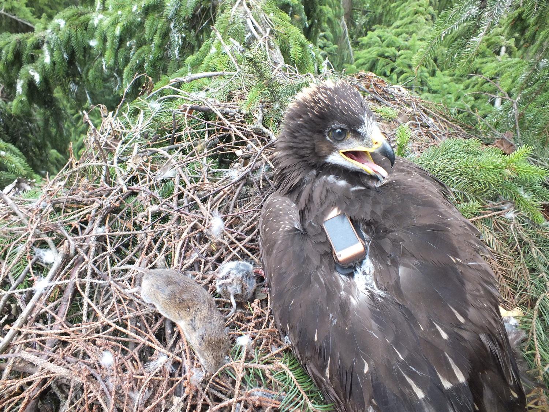 Ereliai su siųstuvais: kaip atrodo paukščių migracijos kelių paieškos