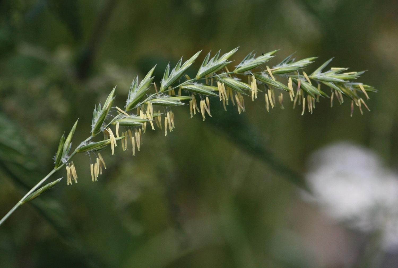 Liaudies medicina: varpučiai – ne tik įkyrios piktžolės