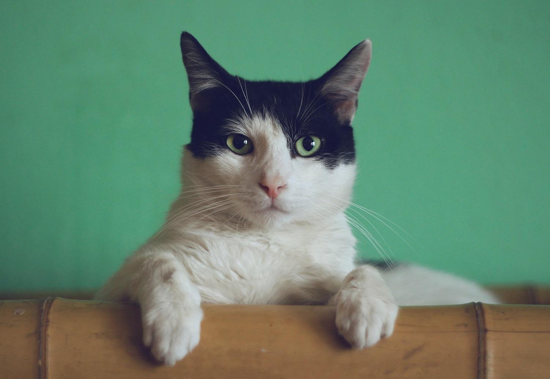 Ką žymi pakirpta katės ausis ir kada tai leistina?