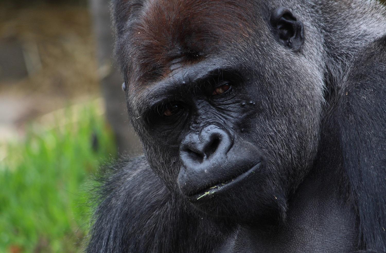 Ugandoje pasaulio šviesą išvydo dvi retos kalnų gorilos