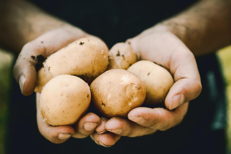 Kokių veislių bulves auginsime kitąmet?