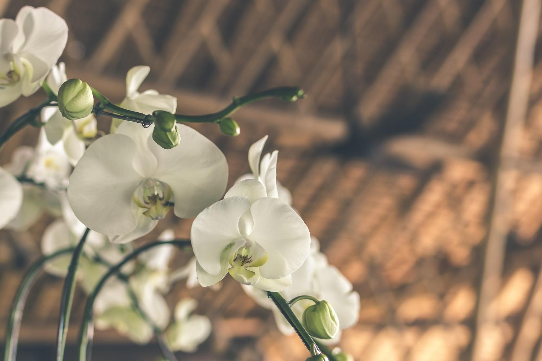 Orchidėjų priežiūra žiemą