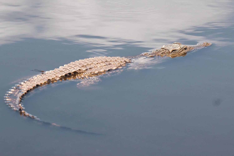 Krokodilai kelia grėsmę ir nyksta