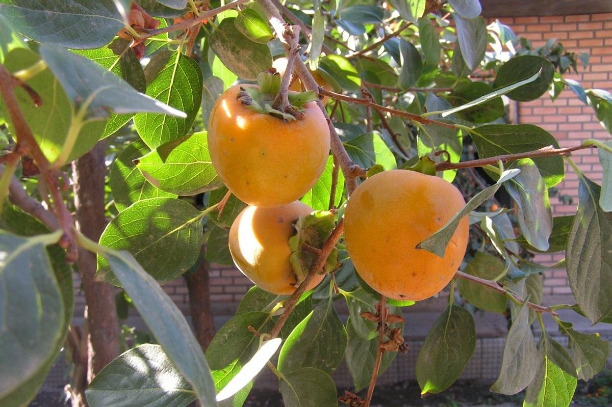 Viliojantys oranžiniai persimonų vaisiai