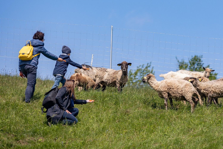 Ribiškių kraštovaizdžio draustinio priežiūrai ir vėl pasitelktos avys ir ožkos