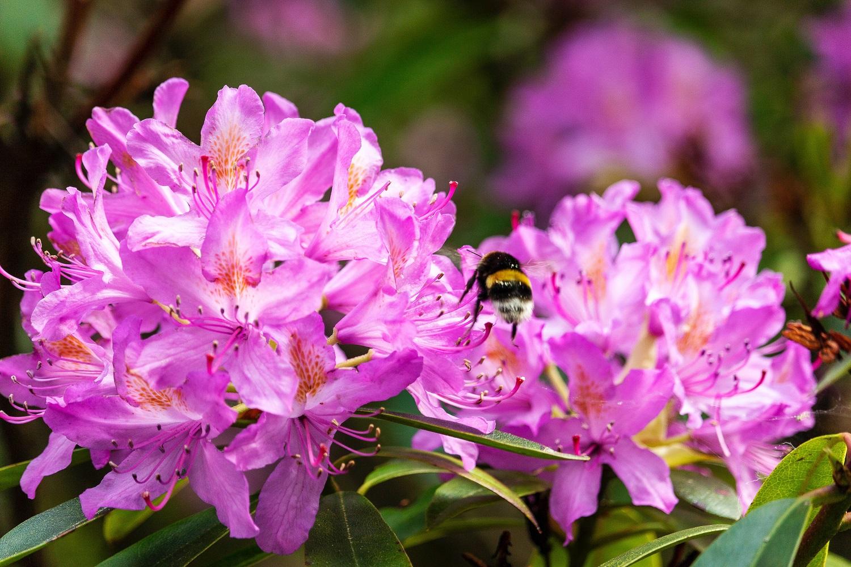 Rododendrai – nuolatiniai gyvenimo palydovai