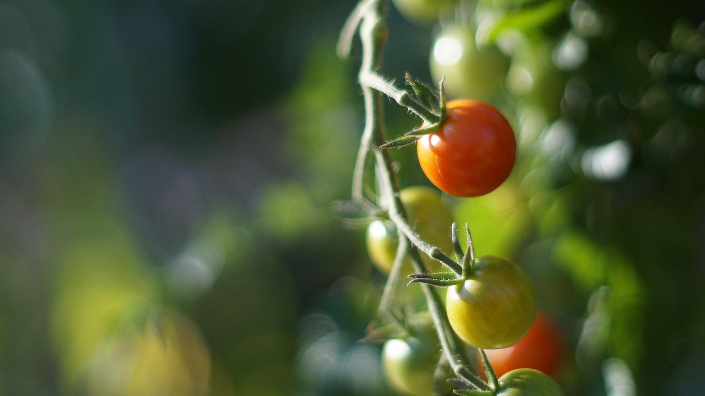 Balti sukietėjimai pomidoro viduje: kodėl jie susidaro?