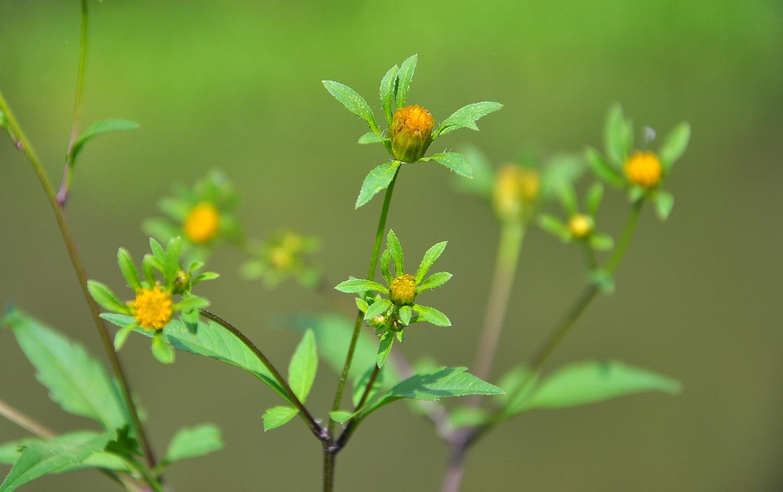 Lakišiai –  puikus vaistas nuo odos ligų