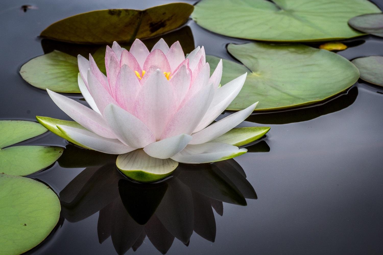 Tailandas šiltnamyje: ką reikia žinoti apie žavinguosius lotosus?