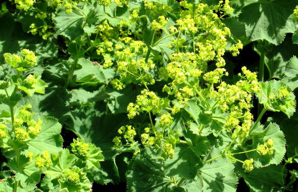 Liaudies medicina: rasakila – vaistažolė moterims