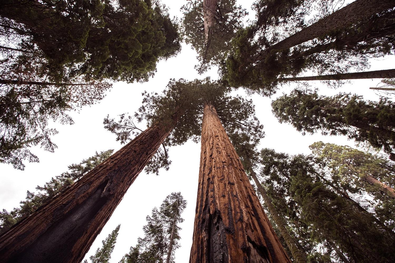 Kalifornijos gaisrai kelia pavojų didžiausiems pasaulio medžiams – sekvojoms
